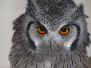 Owl Medium